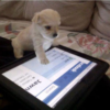 Puppy playing with iPad