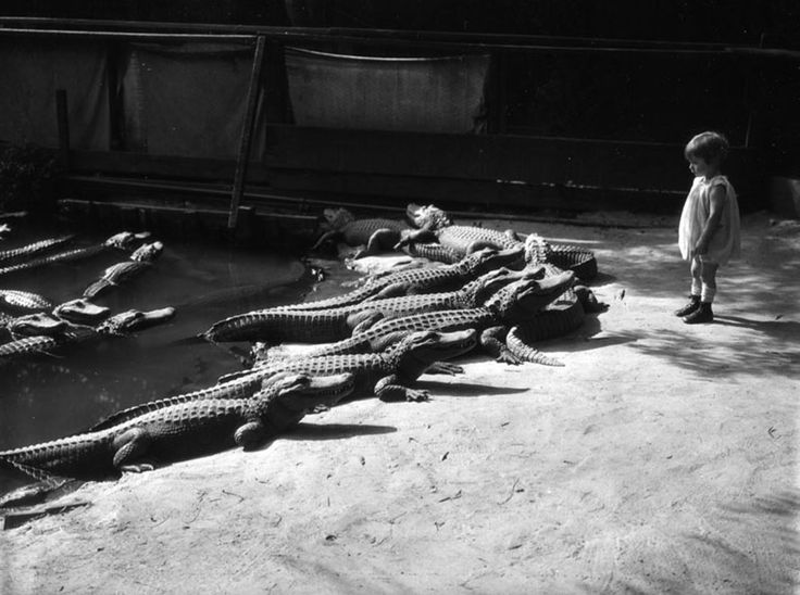 Dining With Alligators