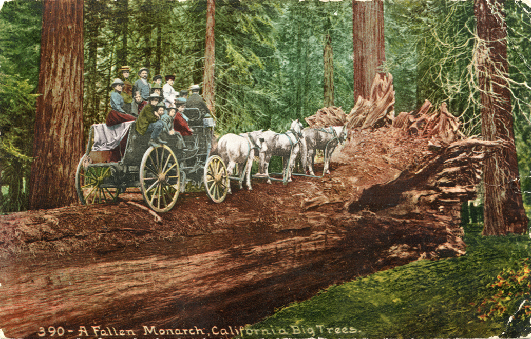 A_Fallen_Monarch_California_Big_Trees_390
