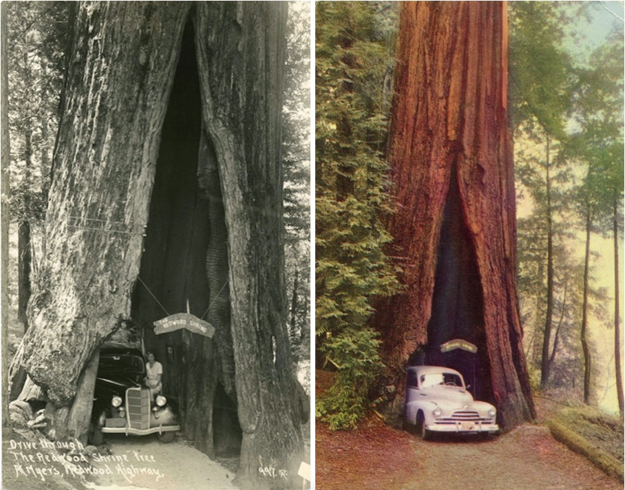 Vintage Rides and Drive-Thru Trees