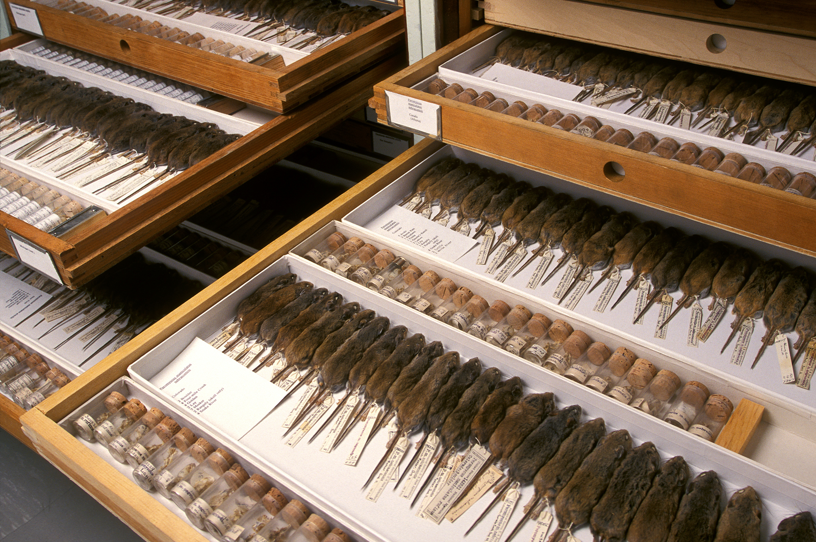 Mouse Collections, National Museum of Natural History