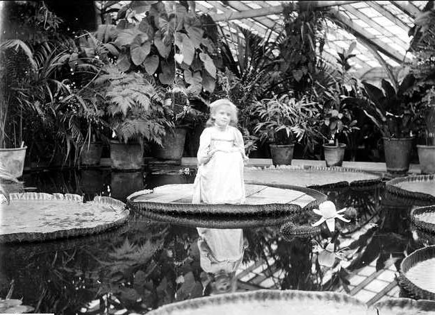 The interior of the Victoria regia greenhouse at Adelaide Botanic Gardens showing a young girl on a leaf of Victoria amazonica