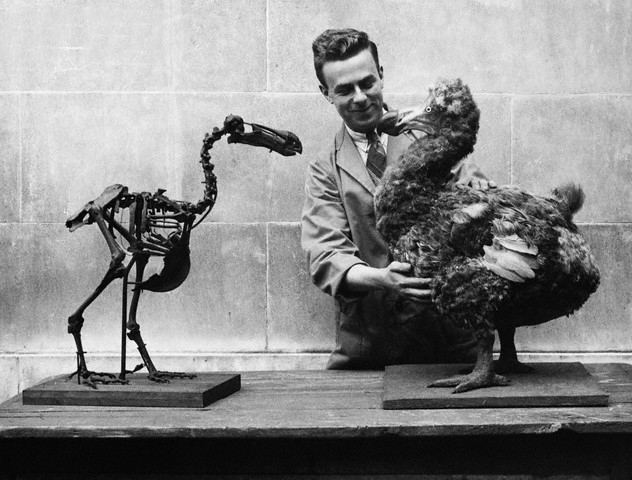 Museum Worker With Model Dodo